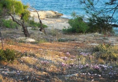 Cyclamen on the Island of Spetses, Greece