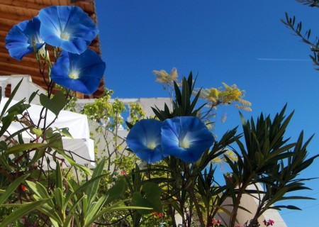 Morning Glory Heavenly Blue in Spetses, Greece