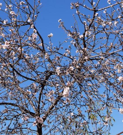Almond Tree in Spetses Island, Greece.