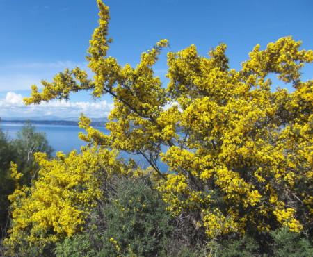Yellow Gorse Spetses Island Greece