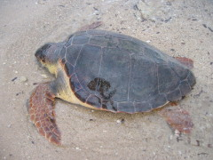 Caretta Caretta Spetses Island Greece